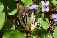 ヒメギフチョウの産卵 - フォト エチュード  Photo-Etudes