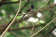 朝一番のサンコウチョウ - 近隣の野鳥を探して