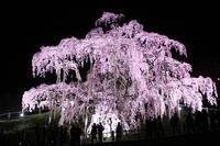 滝桜・ライトアップ!(2019.4.16) - 風の中で~