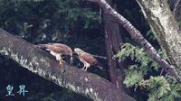 雌が待つフイ-ルドに雄がエサを渡す、俗にエサ渡しの一部シュジュウヲ皇昇が撮影( ´艸`)。誠 - 皇 昇