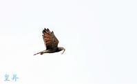 雄から雌が待つフイ-ルドに餌を持って飛翔して行く( ´艸`)。誠 - 皇 昇