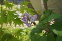 ライラック咲き始め - 函館の建築家 『北崎 賢』日々の遊びと仕事