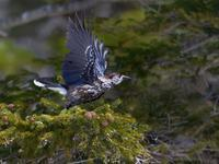 お山のホシガラス2019(飛び出し) - トドの野鳥日記