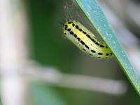 キアシドクガの蛹Ivela auripes - 写ればおっけー。コンデジで虫写真