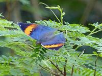 コノハチョウ石垣島を訪ねて③ - 蝶のいる風景blog