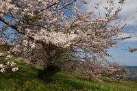 桜・2019(圧倒的桜。平成FINAL ) - ちわりくんのありふれた毎日III