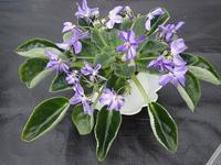 今日から「セントポーリア展」! - 手柄山温室植物園ブログ 『山の上から花だより』