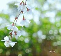 圧倒的桜。はじめまして - Sako1201's Blog