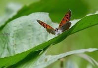 春の可愛いチョウたち - 旅のかほり
