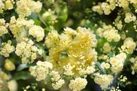 バラの季節 - 相模原・町田エリアの写真サークル「なちゅフォト」ブログ!