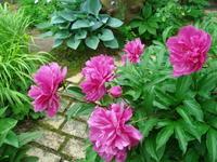 芍薬、アイリス、チャイブ・・・えとせとら - natural garden~ shueの庭いじりと日々の覚書き