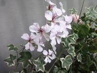 アイビーゼラニウム - だんご虫の花