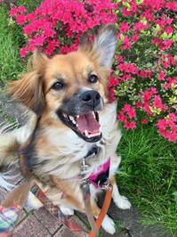 卒業とピカ道場の一時休業 - 琉球犬mix白トゥラーのピカ