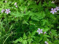 ピンクの野草:ヒメフウロ(姫風露草) - 世話要らずの庭