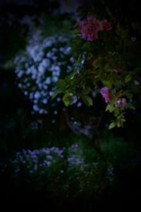 薔薇の庭 - 世話要らずの庭