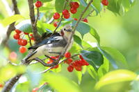 コムクドリ①今年もサクランボ - 気まぐれ野鳥写真