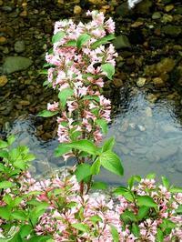 タニウツギの花が・・・・朽木小川・気象台より - 朽木小川・気象台より、高島市・針畑・くつきの季節便りを!