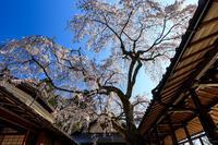 桜咲く京都2019業平桜輝く(十輪寺) - 花景色-K.W.C. PhotoBlog