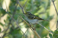 カラフトムシクイ(Pallas's Warbler)/2019.05 - Birding  in  Japan!