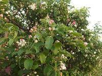 エゾノコリンゴ咲き始め - 北緯44度の雑記帳