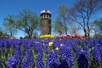 百合が原公園の美しいムスカリ - 北国の花鳥風月