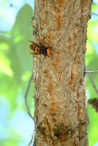 スズメバチが木に止まって何やらやっている? - 平凡な日々の中で