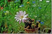 初めて咲いてびっくり!! - 趣味を楽しみながら