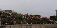 昨日はお花を買いにバラ祭りへ行ってきました - はりねずみの日記帳