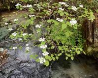 #上高地 フィールドワーク 2018 『大亀の木』 Viburnum furcatum - 自然感察 *nature feeling*