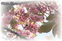 圧倒的桜。ありがとう - White Love