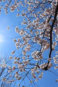 花見山⑥( 2019.4.13) - 風の中で~