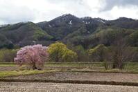 西和賀町沢内弁天の一本桜 - 日本あちこち撮り歩記