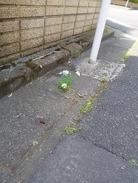 """こ近所で可愛い花が咲いてます!""""オルレア・ホワイトレース"""" - 健気に育つ植物たち"""