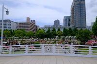 山下公園のバラ - 錦眼鏡