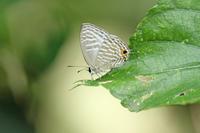 シロウラナミシジミ石垣島を訪ねて④ - 蝶のいる風景blog