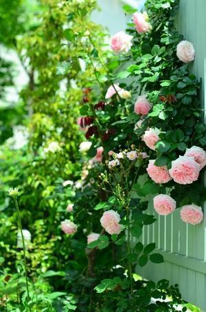 薔薇満開の庭 - お茶の時間にしましょうか-キャロ&ローラのちいさなまいにち- Caroline & Laura's tea break