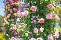 山下公園のバラ満開 - エーデルワイスPhoto