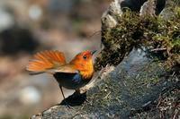 コマドリ - 比企丘陵の自然