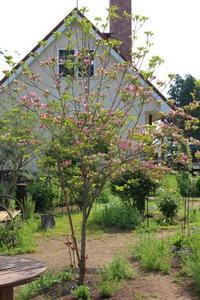 命がけで咲くハナミズキ&オダマキ - ペコリの庭 *
