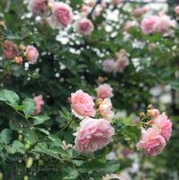 Mi jardín... en la época de rosas - Gardener*s Diary