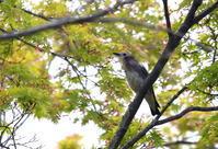 コムクドリを撮りにその3 - 私の鳥撮り散歩