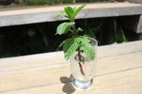 ミントの挿し木 - 週刊「目指せ自然農で自給自足」