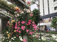 福山のばら祭り - ズームでバッチリ