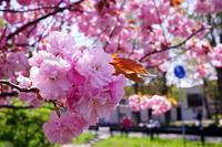 さいごの桜 - esseな時間