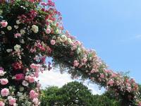 山手と周辺の薔薇 #4 - 神奈川徒歩々旅