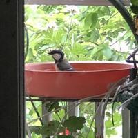 カラちゃん達5羽が入れ代わり立ち代わり忙しい水浴び - みちくさ 摘み草 語りぐさ