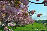厚別川畔の八重桜 - 北海道photo一撮り旅