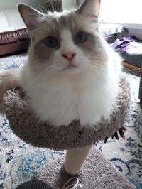 友人の青い目の愛猫と初対面。 - 2度目のリタイア後のライフ