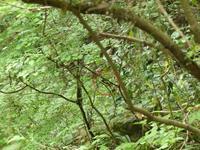 サンコウチョウは鳴いてるけど・・・八王子 - 浅川野鳥散歩