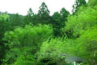 大風止まず・・・春のナラタケ - 朽木小川より 「itiのデジカメ日記」 高島市の奥山・針畑からフォトエッセイ
